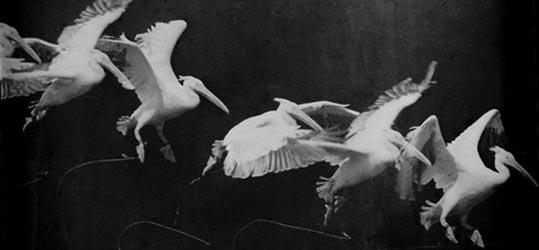 Marey_-_birds